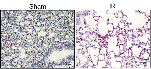 Immunohistochemistry of murine lungs showing increased neutrophil staining after IR compared to sham (controls).